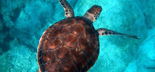 egipt turtle